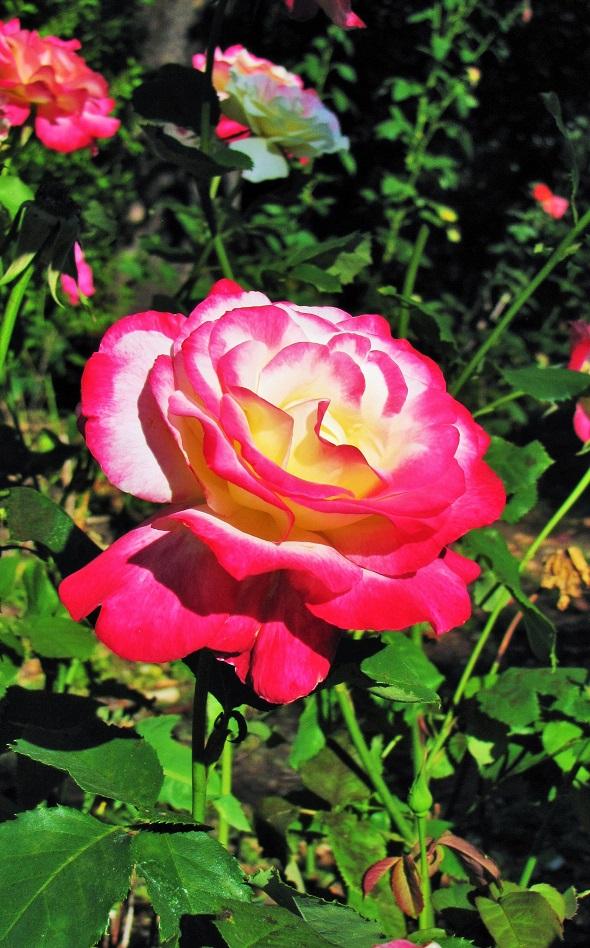 6.8.20 Rose